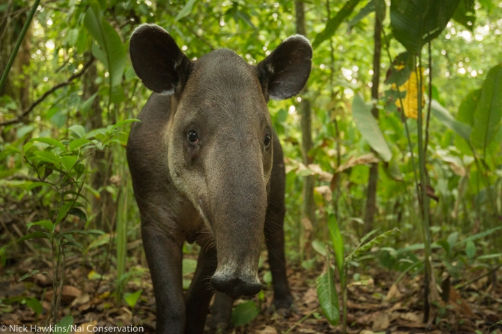 New Study Helps Improve Roadmap Essential to Baird's Tapir Conservation