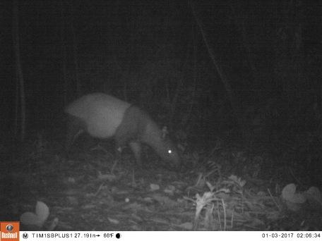 Tapir in Colombia 4