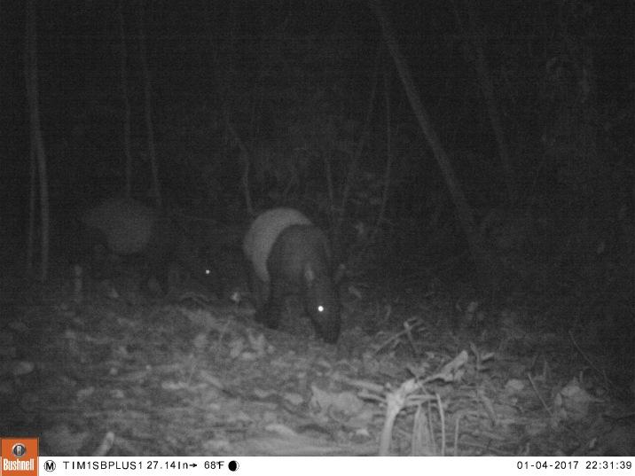 Tapir in Colombia 3